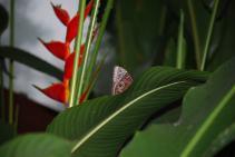 Owl Mariposa