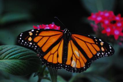 Monarch Mariposa