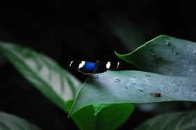 Black and blue Moth