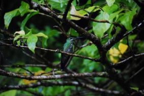 Blackbellied Hummingbird