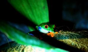 Redeyed leaf frog
