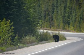 Baby black bear crossing the road