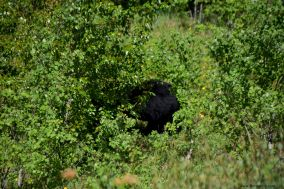 Another black bear resting