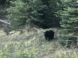 Black bear on a trail in Jaspe